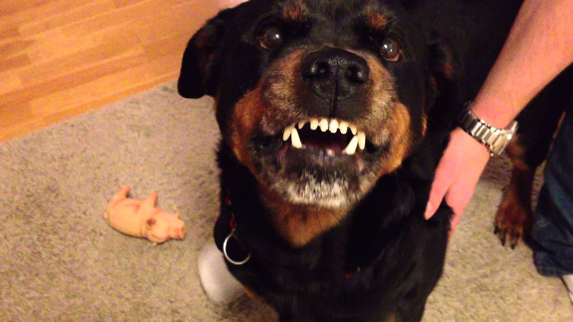 This Rottweiler Is Not Your Ordinary Pet Just Watch What He Does…