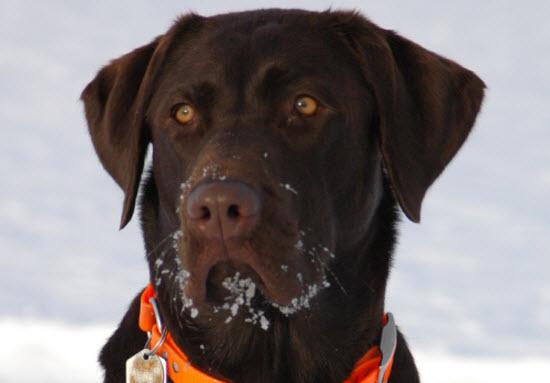 choc labrador retriever dog