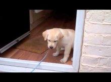Labrador Puppy Afraid to Cross door threshold