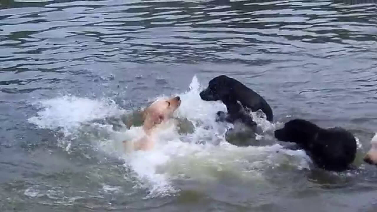 These Beautiful Labs Are Swimming In A River And It Is Mesmerizing To Watch