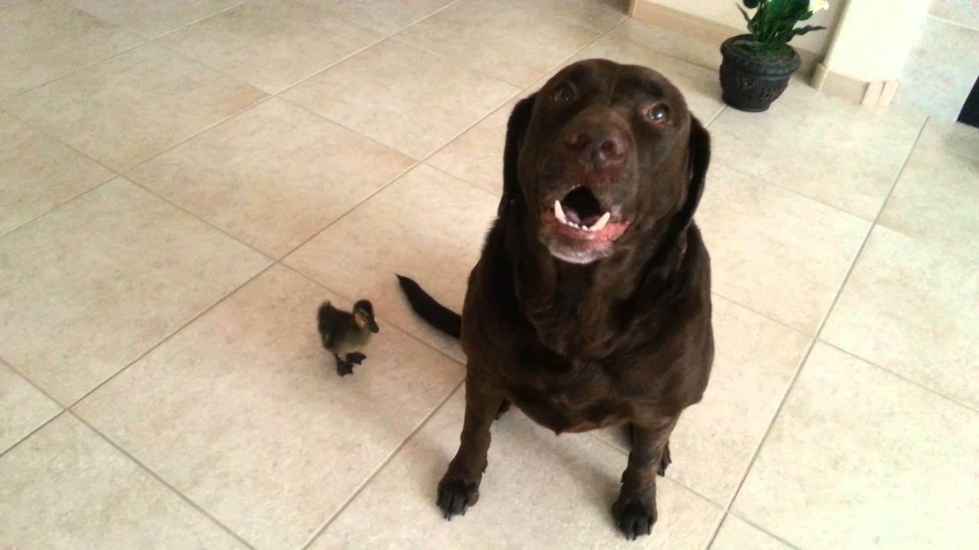 This Labrador Dog Got A Duck