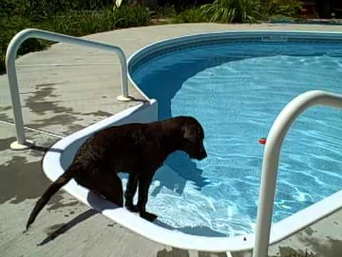 THIS LABRADOR PUPPY FIRST TIME FETCHING THE BALL FROM THE POOL IS ADORABLE