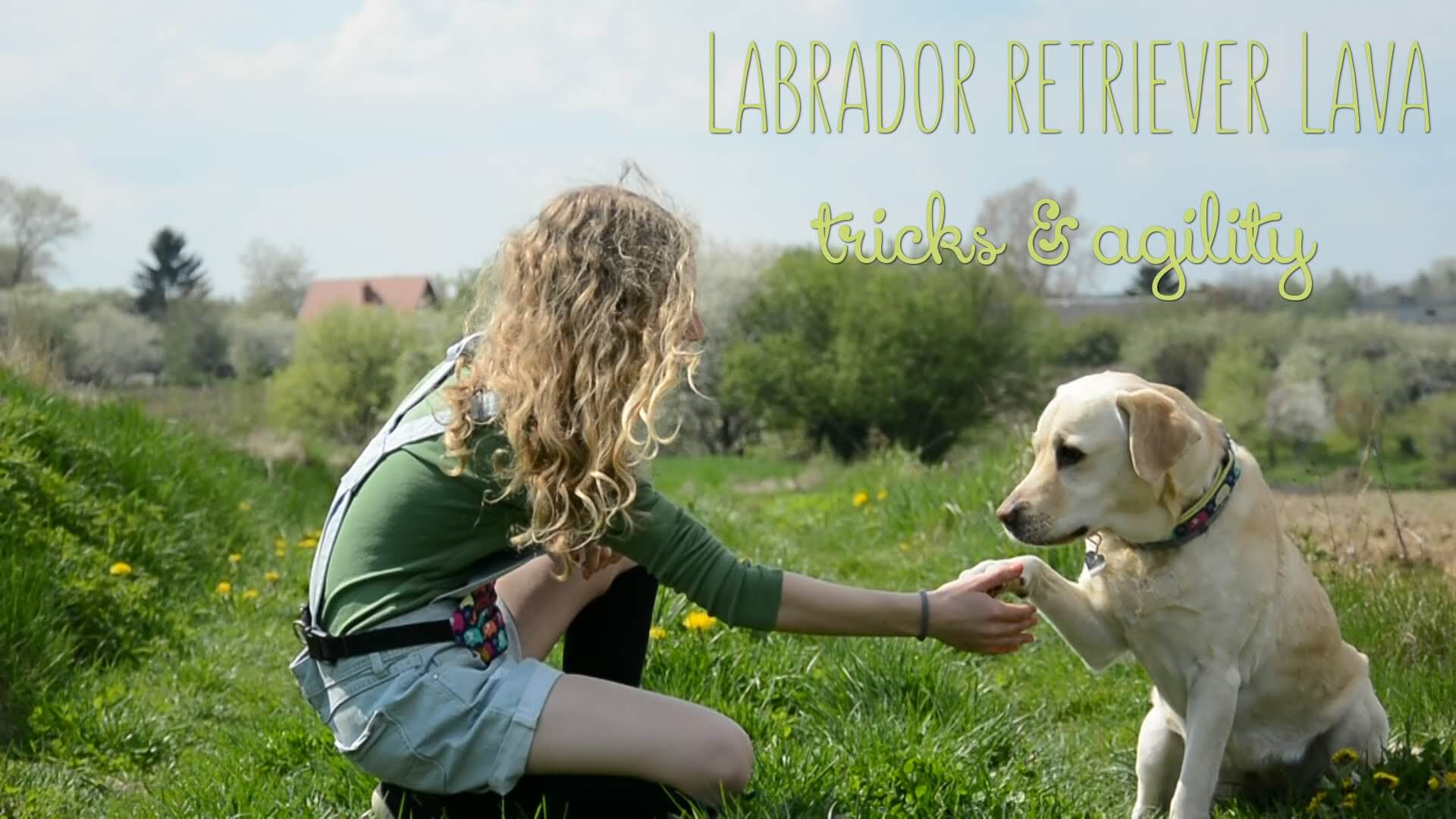 labrador dog training
