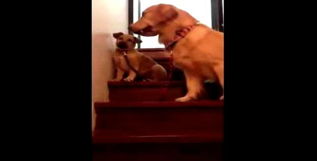 dog teaching puppy how to go down the stairs