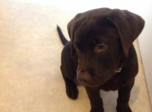 choc lab puppy