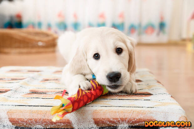 golden-retriever-puppy-with-toy