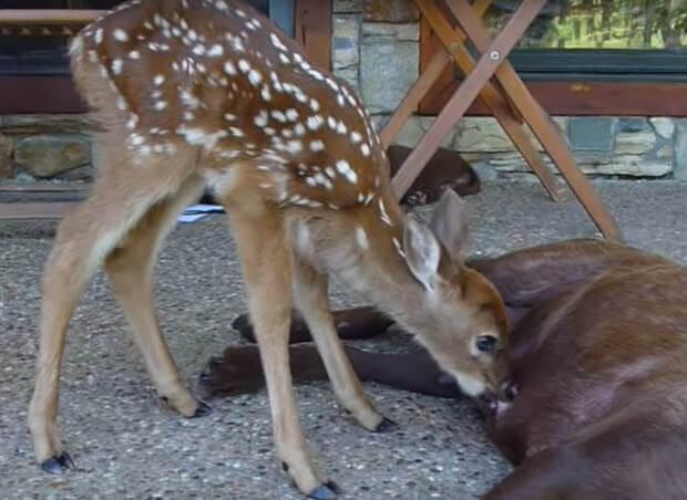 lab-raises-deer-2
