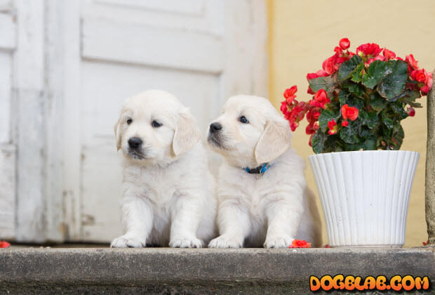 two_lab_puppies_dogblab