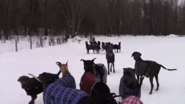 35 great danes play snow