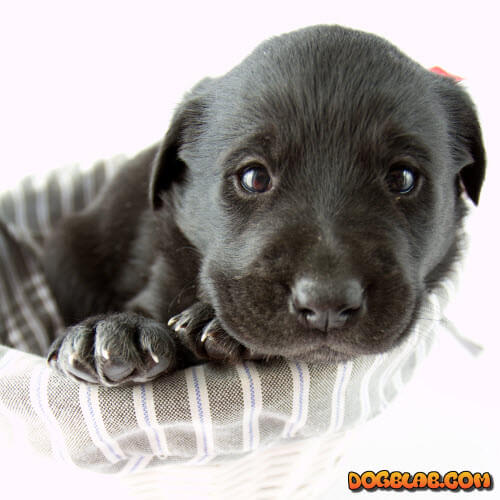 black-small-puppy-labrador
