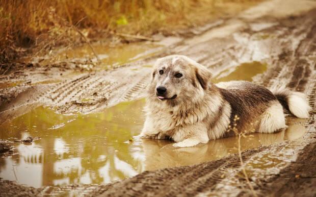 dog-puddle-rain