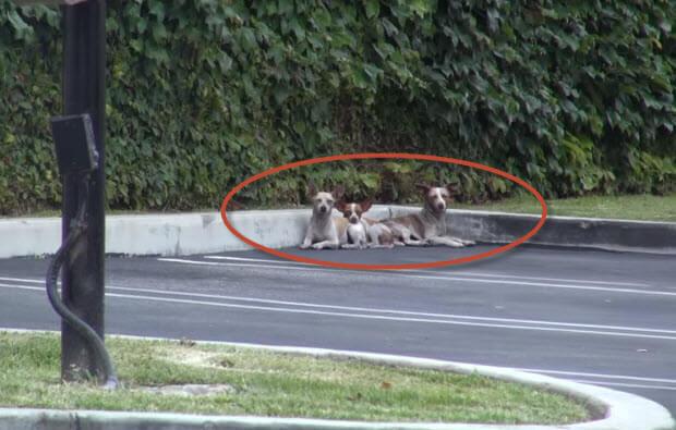 three chiwawas dropped at parking lot
