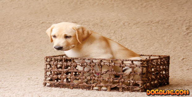 cute-yellow-lab-puppy-in-basket