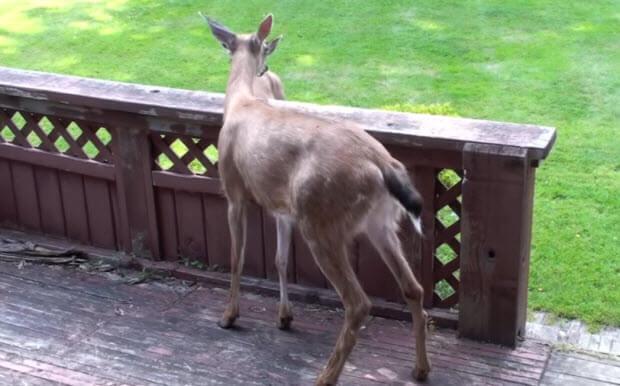 deer-walked-back-yard-2