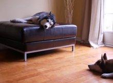 two huskies arguing
