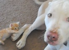 kitten attacks pit bull