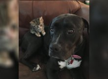 pit bull and a kitten