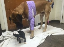 Huge Mastiff and Puppy
