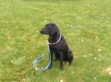 training labrador retriever dog