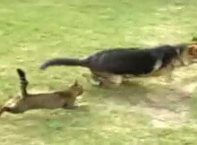 cat chases dog