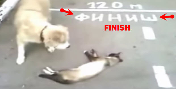 cat playing dead in front of finish line
