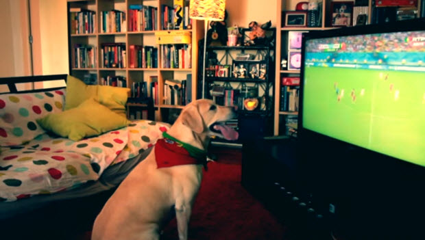 white labrador dog watches soccer