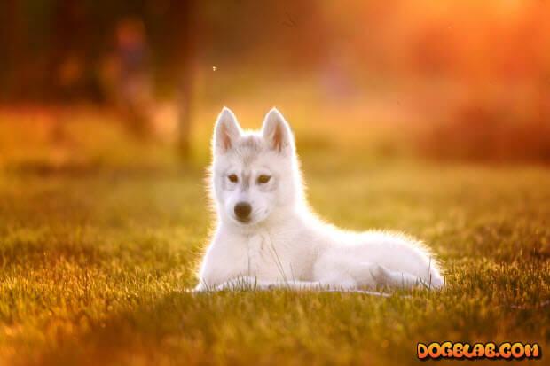husky-puppy-dogblab