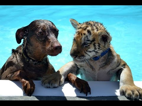 Awesome Tiger Cub And Dog Pup Play And Swim Together