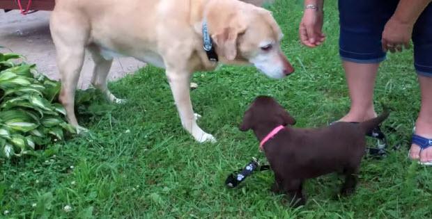 big-labrador-meet-small-labrador2