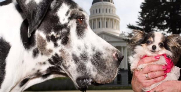 biggest-dog-meets-smallest-dog3