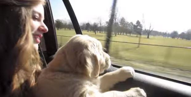 buying-golden-retriever-puppy3