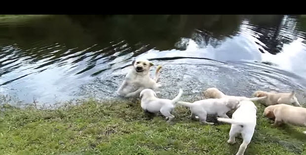 labrador-puppies-swimming-with-mom1