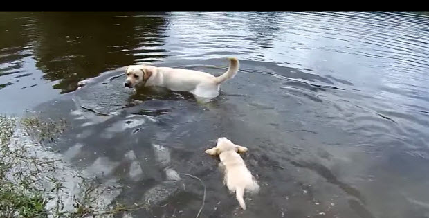 labrador-puppies-swimming-with-mom2