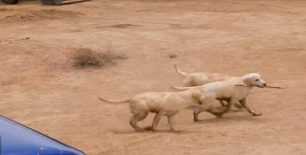 labrador-retriever-puppies-on-farm1