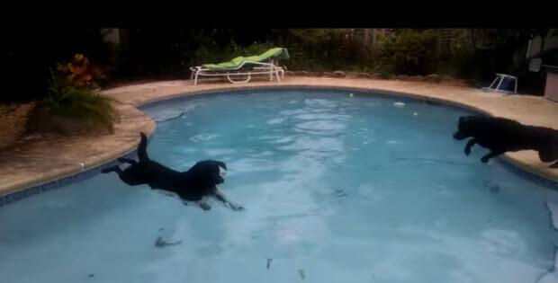 labrador-retrievers-swimming-diving