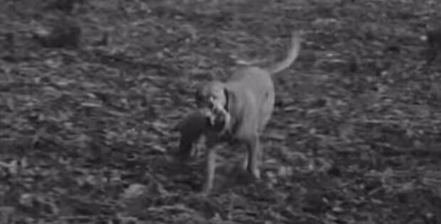 history-of-labrador-retriever-1