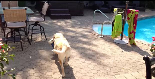 labrador-retriever-gets-towel-goes-for-a-swim2