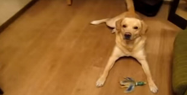labrador-retriever-tap-dancing-1