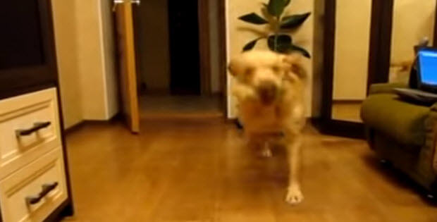 labrador-retriever-tap-dancing-3