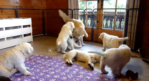 golden-retriever-puppies-playing-with1