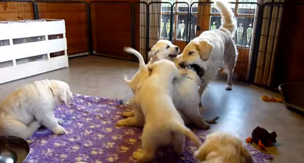 golden-retriever-puppies-playing-with2