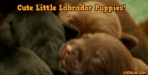 tiny-labrador-puppies2