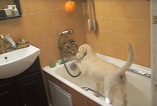 yellow-lab-playing-in-bath-tub3