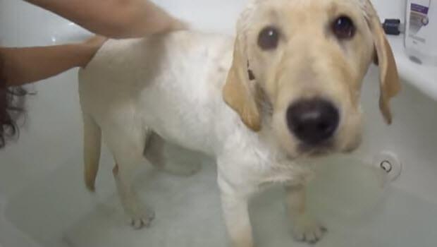 yellow-labrador-retriever-bath2