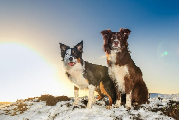 10-Most-Obedient-Dogs-Boarder-Collie