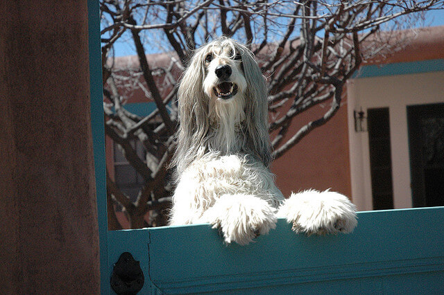 Afghan houndc