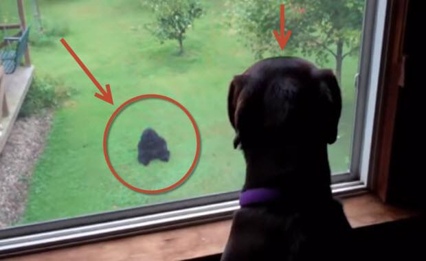 black-labrador-retriever-and-gorilla
