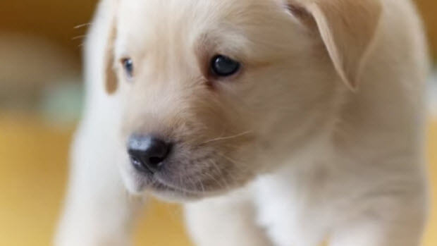 lab-puppy-all-about-senses