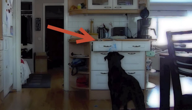 labrador-goes-through-drawers-1