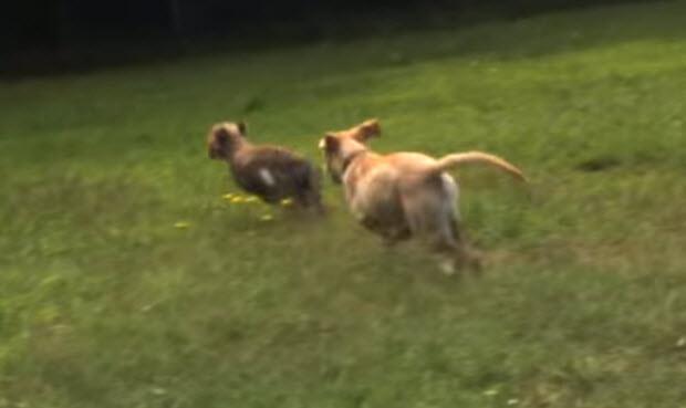 labrador-puppy-cheetah-cub-1